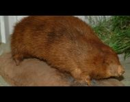 Giant Golden Mole
